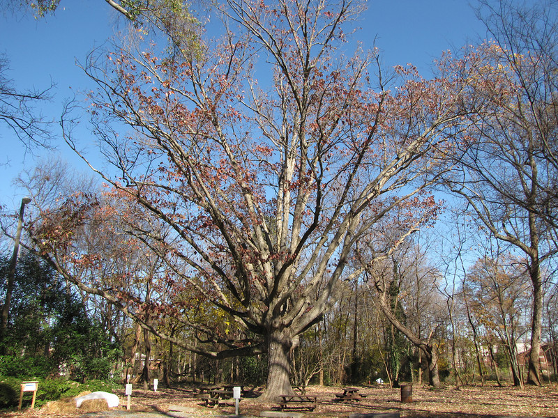 Swamp Chestnut Oak (Quercus Michauxii) Planted circa 1894 - Historic Rosedale Plantation - Charlotte, NC  11-27-10<br /> This is a Mecklenburg County Treasure Tree.