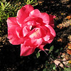 Rose in the Garden - Historic Rosedale Plantation - Charlotte, NC  11-27-10