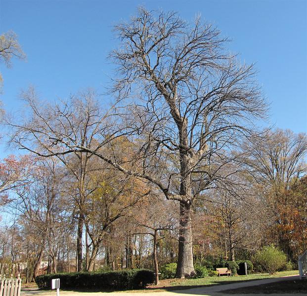 Green Ash Tree (Fraxinus Pennsylvanica) on the NC Register of Big Trees - Historic Rosedale Plantation - Charlotte, NC  11-27-10