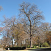 Green Ash Tree (Fraxinus Pennsylvanica) on the NC Register of Big Trees - Historic Rosedale Plantation - Charlotte, NC  11-27-10