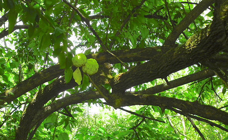 Osage Orange Tree - Historic Stagville - Durham, NC<br /> The wood of osage orange was highly prized by the Osage Indians of Arkansas and Missouri for bows. In fact, osage orange is stronger than oak and as tough as hickory, and is considered by archers to be one of the finest native North American woods for bows.