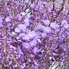 Wisteria Blooms - JC Raulston Arboretum, Raleigh, NC  3-24-11