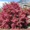 We Loved This Blooming Bush - Loropetalum chinense var. rubrum - JC Raulston Arboretum, Raleigh, NC  3-24-11