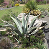 Agave Plant - JC Raulston Arboretum, Raleigh, NC  3-24-11<br /> Most agaves are monocarpic, meaning they only flower once, then the mother plant dies, leaving young offsets or pups.  Flowering commonly takes 10-15 years to occur in a garden, and often 100 years in the wild.  During flowering, a tall asparagus-like stalk grows vertically from the center of the plant.  When mature, this stalk may branch and produce many short tubular flowers.  Agaves are often called woody lilies.  They form a rosette of thick fleshy leaves that each end in sharp spine.  They are low maintenance plants that perform best in well-drained soils and full sun.