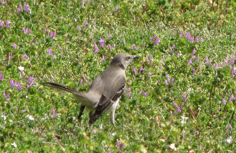 Mockingbird Looking for Lunch - JC Raulston Arboretum, Raleigh, NC  3-24-11
