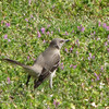 Mockingbird Looking for Lunch - JC Raulston Arboretum, Raleigh, NC  3-24-11