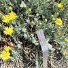 Barbary Ragwort - Hot Sunny Plant - Othonna cheirifolia - JC Raulston Arboretum, Raleigh, NC  3-24-11
