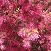 Closeup Loropetalum chinense var. rubrum - JC Raulston Arboretum, Raleigh, NC  3-24-11