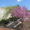 Gorgeous Day and Spring Showing Everywhere - JC Raulston Arboretum, Raleigh, NC  3-24-11