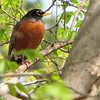 Robin in a Tree - JC Raulston Arboretum, Raleigh, NC  3-24-11