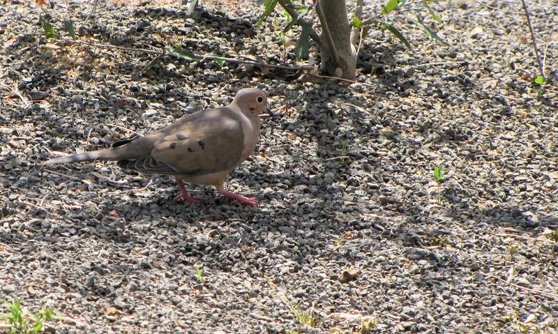 Mourning Dove - JC Raulston Arboretum, Raleigh, NC  3-24-11