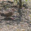Mourning Dove - JC Raulston Arboretum, Raleigh, NC  3-24-11