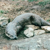Otter - Grandfather Mountain Near Linville, NC  4-11-04