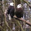 Eagles at Grandfather Mt., NC<br /> Non-releasable Bald Eagles.