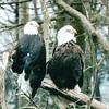 Bald Eagles - Grandfather Mountain Near Linville, NC  4-11-04