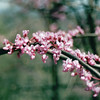 Redbud Blooms - Chimney Rock, NC  4-9-04