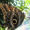 Owl Butterfly - Cailigo eurilochus - Costa Rica_3