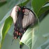Great Mormon - Papilio memnon - Malaysia