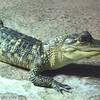 Young Alligator_2