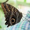 Owl Butterfly - Cailigo eurilochus - Costa Rica_2