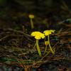 Golden Chanterelle