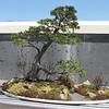 Bonsai - NC Arboretum, Asheville, NC  4-9-09