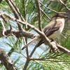 Unidentified Bird - NC Arboretum, Asheville, NC  4-9-09