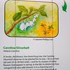 Carolina Silverbell - Native Plant Alternatives - North Carolina Botanical Garden at Univ. of NC at Chapel Hill<br /> Rather than Bradford Pear trees.