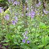 Hoary Skullcap (Scutellaria incana) - North Carolina Botanical Garden at Univ. of NC at Chapel Hill<br /> An eastern meadow native that provides weeks of color in mid-summer. Purple flowers top bushy green plants. Found at wood's edge and in sunny meadows from New York to Arkansas.