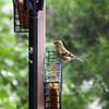 American Goldfinch at Suet Feeder - North Carolina Botanical Garden at Univ. of NC at Chapel Hill