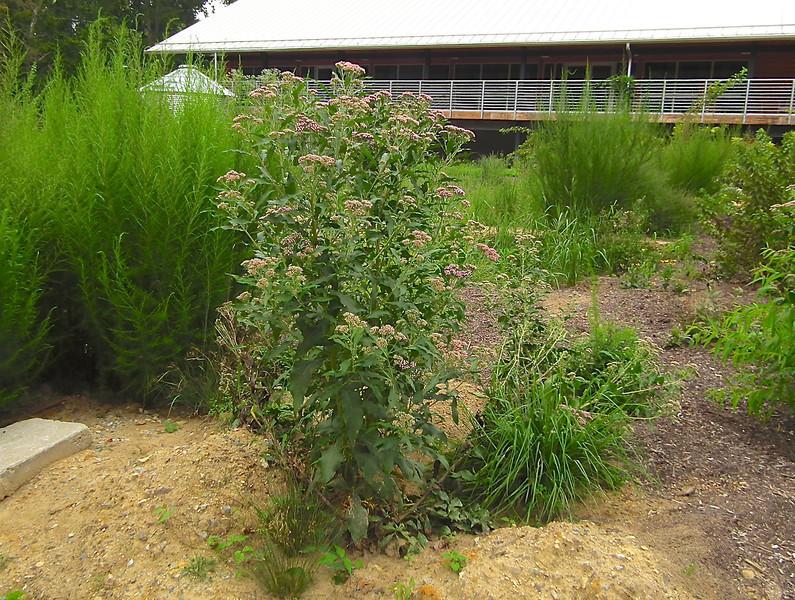 Joe Pye Weed - North Carolina Botanical Garden at Univ. of NC at Chapel Hill