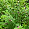 Beautyberry Bush - North Carolina Botanical Garden at Univ. of NC at Chapel Hill