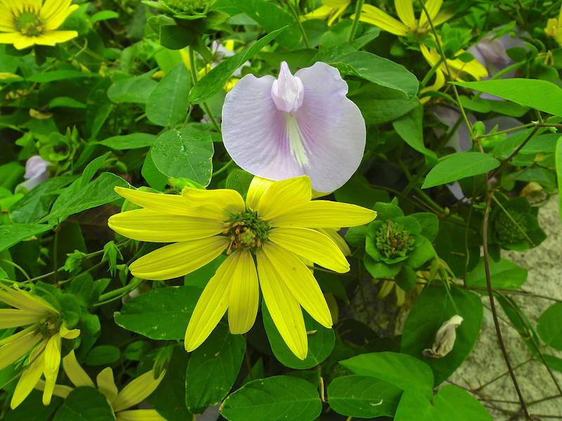Green-headed Coneflower & Sweet Pea Vine - North Carolina Botanical Garden at Univ. of NC at Chapel Hill