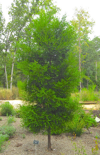Atlantic White Cedar - North Carolina Botanical Garden at Univ. of NC at Chapel Hill<br /> Chamaecyparis thyoides 'Webb #1' - Cyress Family - Cupressaceae.  I really like the softness and the way this tree grows.