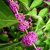 Beautyberry Berries - North Carolina Botanical Garden at Univ. of NC at Chapel Hill<br /> I love the colors of these berries.  We have a few bushes on our property also.