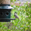 """Black-capped Chickadee - North Carolina Botanical Garden at Univ. of NC at Chapel Hill<br /> Feeding shelled sunflower seeds keeps the ground free of """"trash"""" that needs to be raked up to keep the area healthy for birds.  It also gives quick energy to the birds since they don't need to shell each seed they eat."""