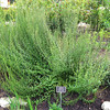 """Goldenrod (Solidago erecta) Aster Family - North Carolina Botanical Garden at Univ. of NC at Chapel Hill This looks like it has formed a bush which makes it look more controlled than the goldenrod we have that keeps on spreading rapidly.  <a href=""""http://www.thenatureinus.com/2007/09/goldenrod-treasures.html""""><b>Goldenrod is a great wildlife plant</b></a>, but I don't like the way it spreads."""