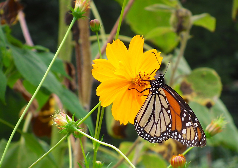 Monarch Butterfly on Coreopsis - North Carolina Botanical Garden at Univ. of NC at Chapel Hill