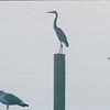 Seagulls and Heron - Atlantic Beach, NC  10-28-98