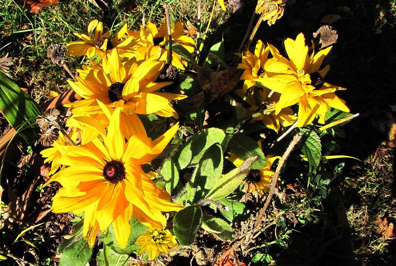 Last of Summer Flowers Shining Brightly - Reedy Creek Park & Nature Preserve - Charlotte, NC  11-27-10