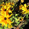 Last of Summer Flowers Shining Brightly - Reedy Creek Park & Nature Preserve - Charlotte, NC  11-27-10
