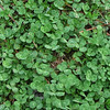 Clover in the Coastal Forest - Hugh MacRae Nature Trail - Wilmington, NC
