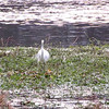 VIDEO:  Great Egret in Wetlands - Wilmington, NC 12-26-09