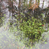 Pond Plants with Sky View - Hugh MacRae Nature Trail - Wilmington, NC<br /> Where do reflections end and pond plants begin?
