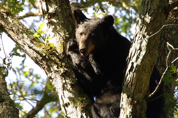 black bear; wild