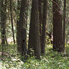 Look closely at this one and you'll see 3 black bears.  One (the mama) standing up, a cub just beneath her and in the tree on the right closer to the foreground is a second cub.
