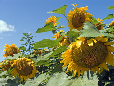 CRW_1430Sunflowers