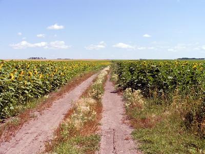 CRW_1438Sunflower field road