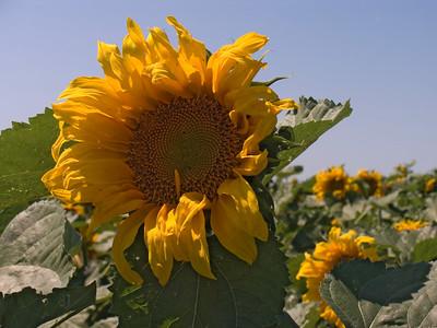 CRW_1432Sunflower