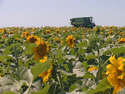 CRW_1434Sunflower field
